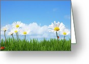 Grass Greeting Cards - Daisies In A Summer Meadow Greeting Card by Andrew Dernie