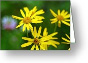 Mario Brenes Simon Greeting Cards - Daisies Greeting Card by Mario Brenes Simon