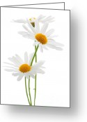 Daisies Greeting Cards - Daisies on white background Greeting Card by Elena Elisseeva
