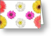 Lynnette Johns Greeting Cards - Daisies on White Greeting Card by Lynnette Johns