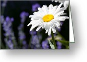 Cindy Greeting Cards - Daisy and Lavender Greeting Card by Cindy Singleton