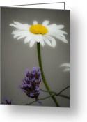 Brasiliensis Greeting Cards - Daisy and Verbena Greeting Card by Teresa Mucha