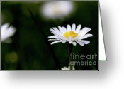 Bellis Greeting Cards - Daisy Bellis Flower Weed . 7D5827 Greeting Card by Wingsdomain Art and Photography