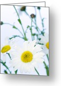 Bellis Greeting Cards - Daisy (bellis Perennis) Greeting Card by Lawrence Lawry