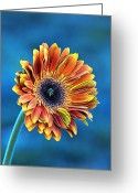 Orange Daisy Photo Greeting Cards - Daisy Dialation Greeting Card by Bill Tiepelman
