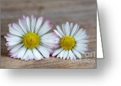 Bellis Greeting Cards - Daisy Flowers Greeting Card by Nailia Schwarz