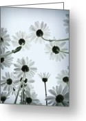 Black And White Flower Greeting Cards - Daisy Flowers Rear View Greeting Card by photograph by Anastasiya Fursova