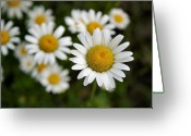 Bellis Greeting Cards - Daisy Fresh Greeting Card by Kristin Elmquist