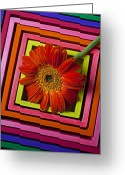 Orange Daisy Photo Greeting Cards - Daisy In Box Greeting Card by Garry Gay