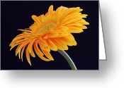 Flower Over Black Photo Greeting Cards - Daisy of Joy Greeting Card by Juergen Roth