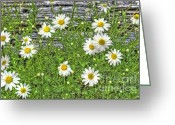 White Daisies Greeting Cards - Daisy Patch Greeting Card by Benanne Stiens