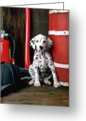 Fire Photo Greeting Cards - Dalmatian puppy with firemans helmet  Greeting Card by Garry Gay