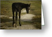 Gaited  Horse Greeting Cards - Damp Cracker Foal Greeting Card by Lynn Palmer