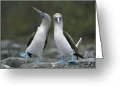 Two Animals Greeting Cards - Dancing Blue-footed Boobies Greeting Card by Tui de Roy