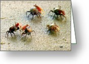 Fiddler Crab Greeting Cards - DANCING of the FIDDLERS Greeting Card by Karen Wiles