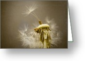 Flower Abstract Greeting Cards - Dandelion Clock Greeting Card by Ian Barber