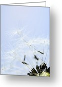Flying Greeting Cards - Dandelion Greeting Card by Elena Elisseeva