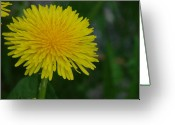 Dandelion Pyrography Greeting Cards - Dandelion in Alaska Greeting Card by Gaynor Perkins