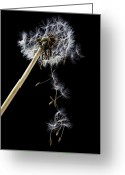 Clock Greeting Cards - Dandelion loosing seeds Greeting Card by Garry Gay