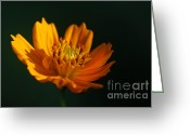 Aster  Photo Greeting Cards - Dappled in the Morning Light Greeting Card by Darren Fisher