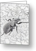 National Drawings Greeting Cards - Darkling Bug Greeting Card by Inger Hutton
