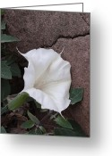 Witches Greeting Cards - Datura. Flower Greeting Card by Viktor Savchenko