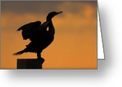Phalacrocorax Auritus Greeting Cards - Dawn Double-crested Cormorant Greeting Card by Tony Beck