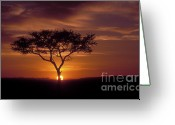 Tree. Acacia Greeting Cards - Dawn on the Masai Mara Greeting Card by Sandra Bronstein