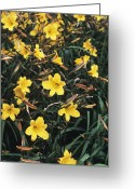 Chimes Greeting Cards - Day Lilies (hemerocallis golden Chimes) Greeting Card by Adrian Thomas