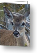 Florida Key Deer Greeting Cards - Deer Life Greeting Card by Sabine Batsche