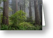 Del Norte Greeting Cards - Del Norte Redwoods Greeting Card by Greg Nyquist