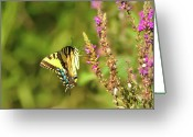 Pollinate Greeting Cards - Delicate Butterfly Greeting Card by Bill Cannon