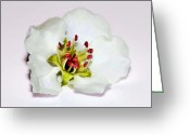Beautiful Flowers Greeting Cards - Delicate Cherry Blossom Greeting Card by Tracie Kaska