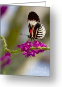 Gossamer Greeting Cards - delicate Piano Key Butterfly Greeting Card by Sabrina L Ryan