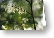 Spring Scenes Greeting Cards - Delicate White Flowers Adorn A Tree Greeting Card by Raymond Gehman
