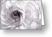 Rose Photos Greeting Cards - Delicate - White Rose Flower Photograph Greeting Card by Artecco Fine Art Photography - Photograph by Nadja Drieling