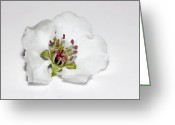 Photography Tk Designs Greeting Cards - Delicate White Tree Blossom Greeting Card by Tracie Kaska