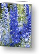 Blue Delphinium Greeting Cards - Delphinim in Bloom Greeting Card by Maria L Salata
