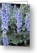 Blue Delphinium Greeting Cards - Delphinium blue Dawn Greeting Card by Adrian Thomas