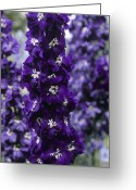 Blue Delphinium Greeting Cards - Delphinium chelsea Star Greeting Card by Adrian Thomas