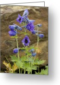 Blue Delphinium Greeting Cards - Delphinium (delphinium Speciosum) Greeting Card by Bob Gibbons