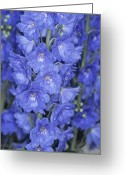 Blue Delphinium Greeting Cards - Delphinium Flowers Greeting Card by Adrian Thomas