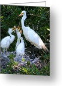 Great Egrets Greeting Cards - Demanding Greeting Card by LaMarre Labadie