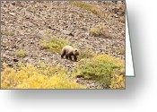 American Brown Bear Greeting Cards - Denali Grizzly Bear Greeting Card by Dora Miller