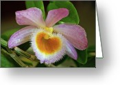 Dendrobium Greeting Cards - Dendrobium Dream Greeting Card by Bill Morgenstern