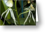 Dendrobium Greeting Cards - Dendrobium Orchid Greeting Card by Kenneth Albin
