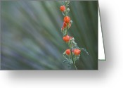 Generic Greeting Cards - Desert Globemallow Flowers Greeting Card by John Burcham