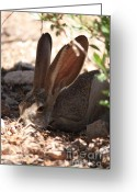 Jackrabbit Greeting Cards - Desert Jackrabbit Greeting Card by Carol Groenen