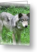 Beautiful Face Wolf Greeting Cards - Determined Wolf Greeting Card by Debra     Vatalaro