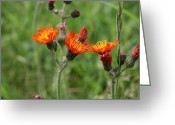 Wildflower Photograph Greeting Cards - Devils Paintbrush Greeting Card by Neal  Eslinger